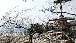 サクラと富士山が素敵❗️平日午前中がベスト😃