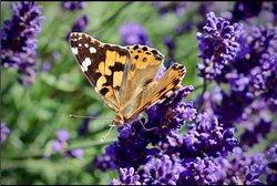 Serenity Lavender Farm