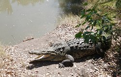 big crocodile (male, this one cannot be touched)