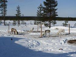 Orbas Reindeer Farm