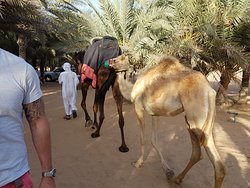 Let's go camel trekking