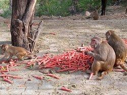 Camino al Templo de los monos (Jaipur)