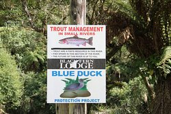 By the Ongarure River - trout, eels & Whio ducks
