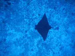 our pets un the reef! stingray!