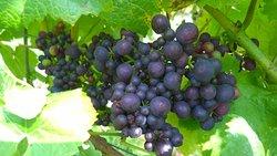 Looe Valley Vineyard