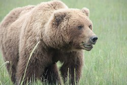 Brown bears eat grass in the spring while waiting for the salmon.