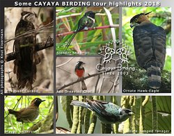 CAYAYA BIRDING tour highlights 2018, including Pheasant Cuckoo, Slender Sheartail, Red-breasted