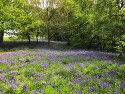 Lodge Hill Bluebells