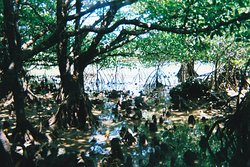Miyara River Hirugi Grove