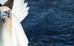 Shetland Seabird Tours