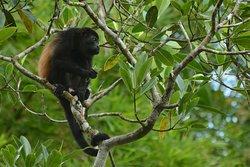 Howler monkey in Sierpe de Osa