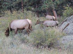 Elk Cows hanging around