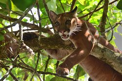Puma en Corcovado national park