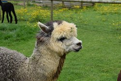 Arkadia Alpacas - Great Ground Farm
