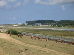 北牧場の与那国馬と与那国空港滑走路