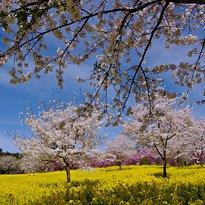 Senbon Cherry Blossom in Akagi Nammen
