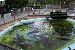 So many alligators!