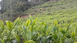 Himalaya Orthodox Organic Tea Nepal