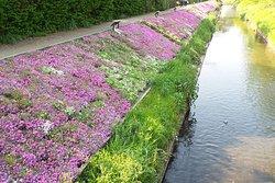 Moss Phlox of Shibuta Riverbank