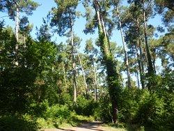 Pitsunda Grove