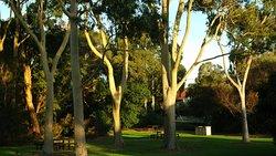 Eucalyptus in crepuscul
