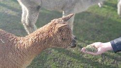 Meeting baby alpacas