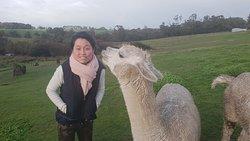 Meeting alpacas