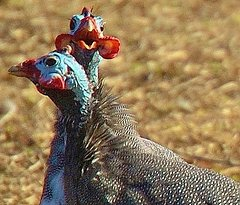 Guinea fowl are very funny!