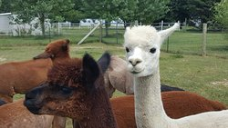 Phil and his alpacas are awesome!!
