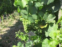 Grapes growing the sun at the De Luca Winery as part of the wine tasting day.