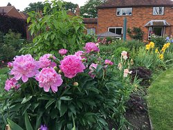 Wonderful peonies in the garden
