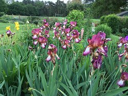 Lovely irises in the garden