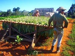 Campos de tabaco
