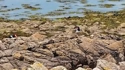 Oystercatchers nest at Fort Raz, over from Longis Beach.