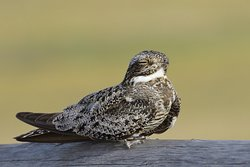 Common Nighthawks can be seen on posts or railings...very unsual!