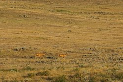 Mule Deer come down from the hills for a late evening stroll.