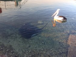 Ray and pelican in the bay