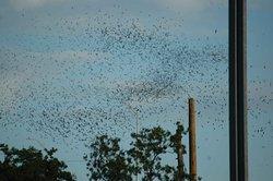 Bats in Round Rock