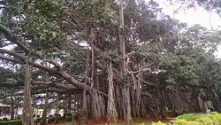 Biggest Banyan Tree