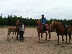 Finn horses, including foal