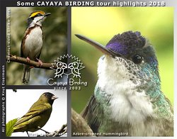 CAYAYA BIRDING tour highlights 2018: Chestnut-sided Shrike-Vireo, Black-capped Siskin, …