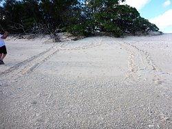 Turtle tracks on the beach.