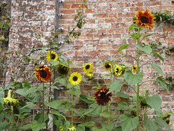 Sunflowers in the walled garden