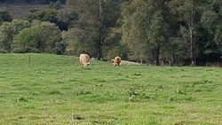 highland cattle - for the BEEF in the shop!!!