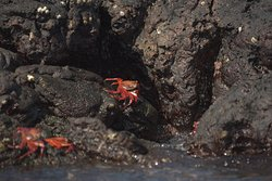 Rote Krebse auf Santiago Island