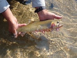 Lots of good size Cutthroat Trout on Dry flies!
