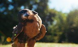 Coda Falconry