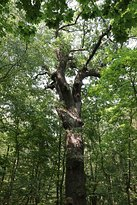 one of the old trees of the national park