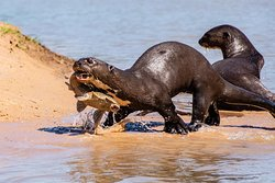 Giant otter teaching the kids how to fish