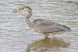 Heron with small roach